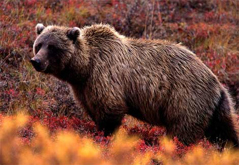 Grizzly-bear (1)
